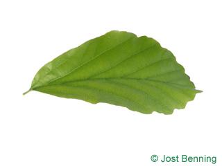 Persischer Eisenholzbaum Blatt eiförmig