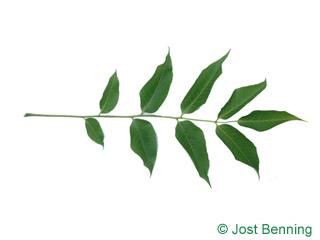 Japanischer Korkbaum Blatt zusammengesetzt