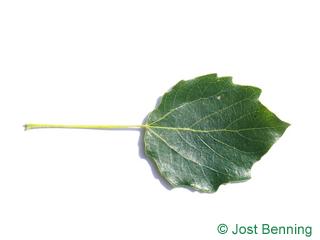 Grau-Pappel Blatt eiförmig