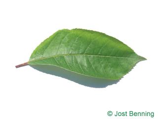 Virginische Traubenkirsche Blatt eiförmig