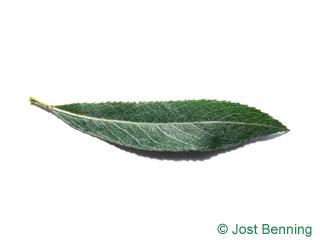 White Willow Blatt länglich