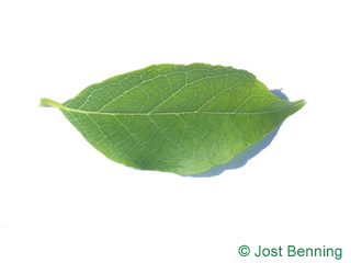 Amerikanischer Storaxbaum Blatt eiförmig