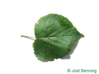 Winter-Linde Blatt herzförmig