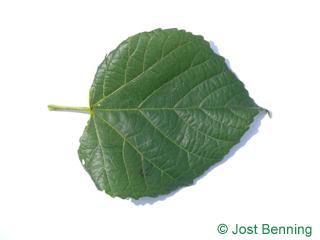 Sommer-Linde Blatt herzförmig