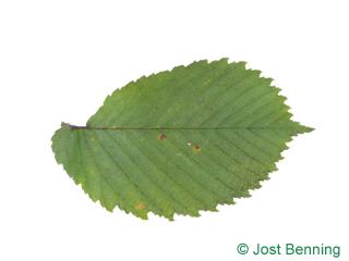 Flatter-Ulme Blatt eiförmig